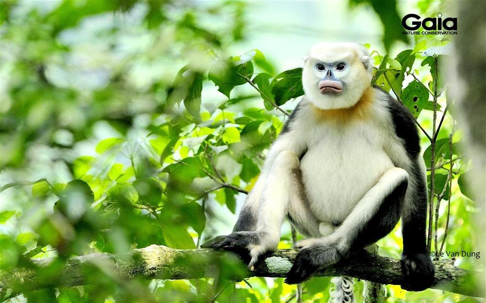 Voọc mũi hếch - Loài Linh trưởng bị đe doạ nhất Thế Giới