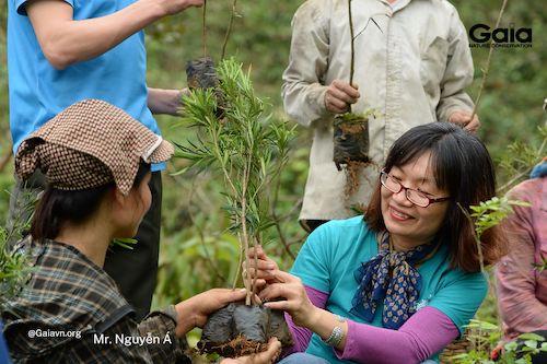 Cây thông tre và Tùng la hán được chọn trồng trong rừng Xuân Liên