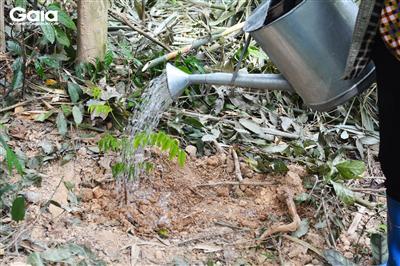Tưới cây sau khi lấp đất.