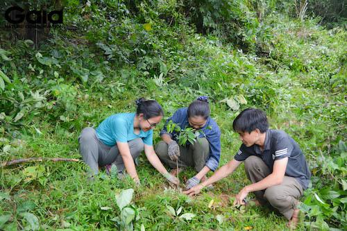 Trồng cây Kim Giao - một cây gỗ quý tại rừng Xuân Liên