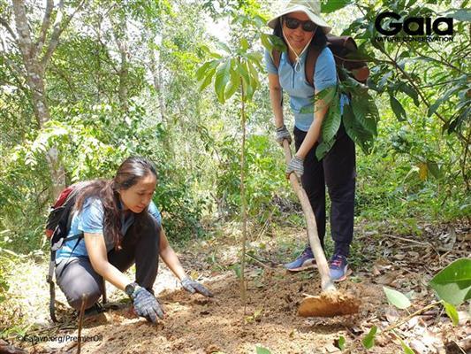 Trồng cây Huỷnh, một loài cây gỗ lớn trong rừng.