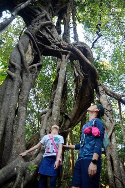 Chăm chú quan sát cây đa lục giao.