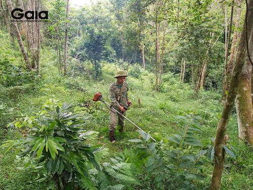 Phát thực bì là một trong những giai đoạn quan trọng trước khi trồng rừng - Ảnh chụp tại rừng Xuân Liên