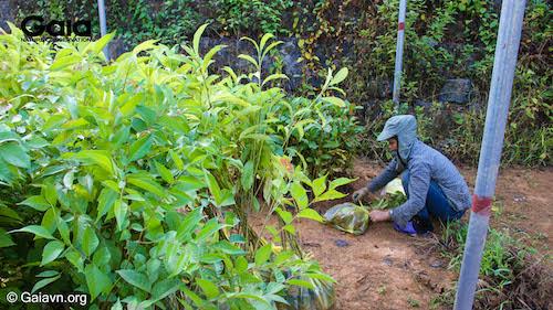 Những cây giống bản địa được lựa chọn kĩ càng trước khi chuyển đến rừng Xuân Liên