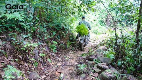 Người dân men theo đường mòn để chuyển cây vào rừng