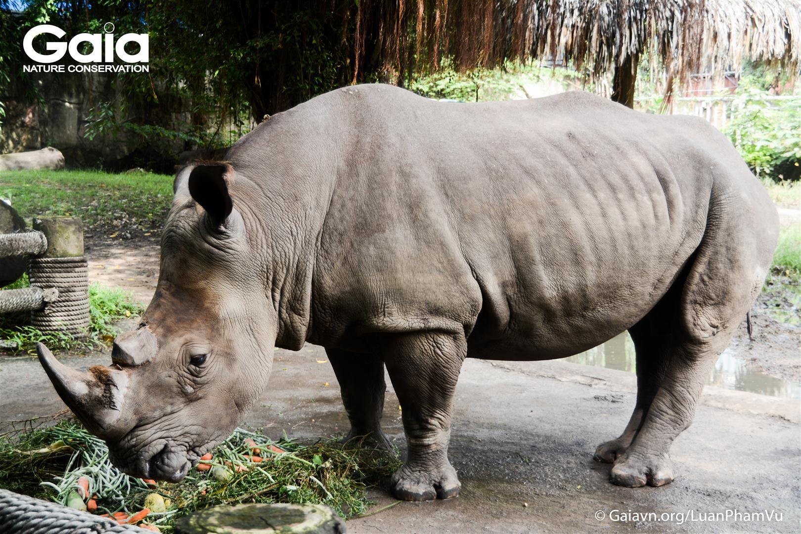 Tê giác trắng quý hiếm tại Thảo Cầm Viên.
