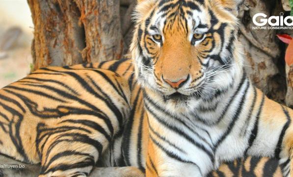 Hổ đông dương